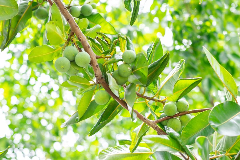 what is tamanu oil